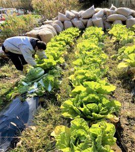 白菜収穫2